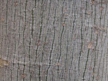 アオギリの樹皮(梧桐)