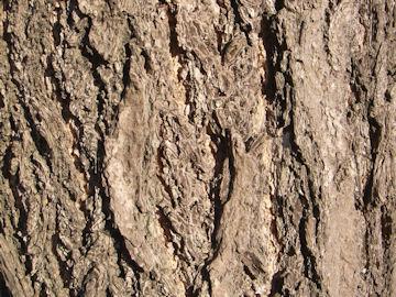 イチョウの樹皮(銀杏)