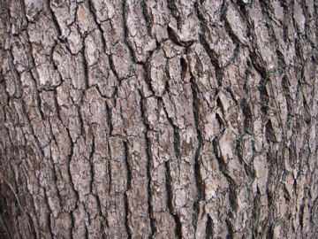 クスノキの樹皮(楠)