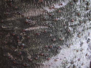 サンゴジュの樹皮(珊瑚樹)