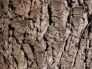 ヒマラヤシーダの樹皮