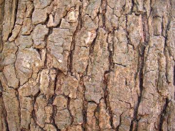 ナンキンハゼの樹皮(南京黄櫨)