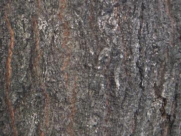 コナラの樹皮(木楢,小楢)