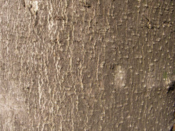 コブシの樹皮(辛夷)