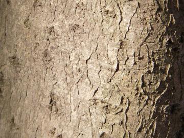 キンモクセイの樹皮(金木犀)