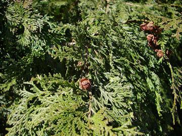 ヒノキの葉の表と実(檜)