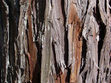 ヒノキの樹皮(檜)