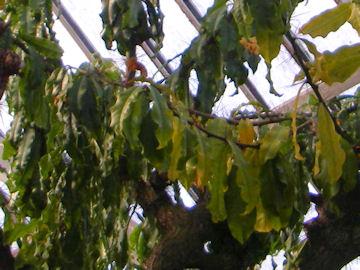 オオバキリンの葉(大葉麒麟)