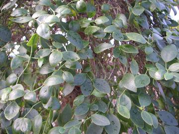 月の桂の葉(ツキノカツラ)