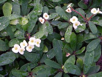 ハナキリンの白花(花麒麟)