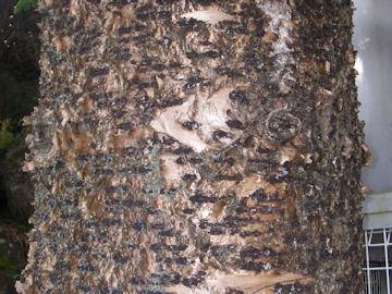 コバノナンヨウスギの樹皮(小葉の南洋杉)