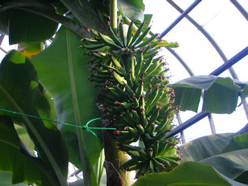 バナナの若い実