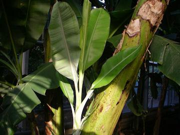 バナナの吸芽