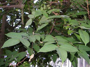 ゴレンシの葉(五歛子)