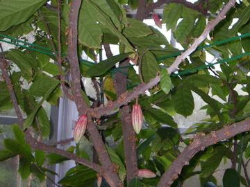 カカオノキ(カカオの木)