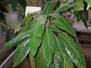 マンゴー・アイブン種