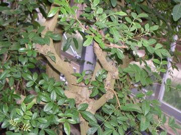 ブラジルコショウボク(伯剌西爾胡椒木)