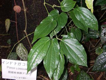 インドナガコショウ(印度長胡椒)