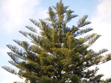コバノナンヨウスギ(小葉の南洋杉)