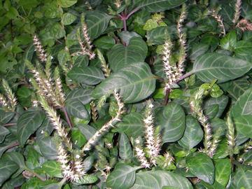 キツネノマゴ科の植物