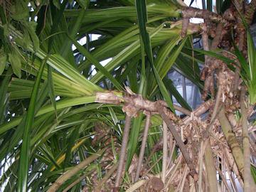 タコノキ(蛸の木)
