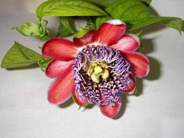 トケイソウ(時計草)パッシフローラ アラタの花