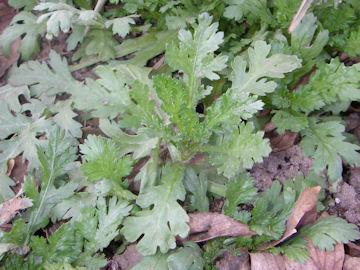 シュンギク(春菊)