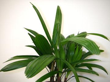 シュロチク(棕櫚竹)