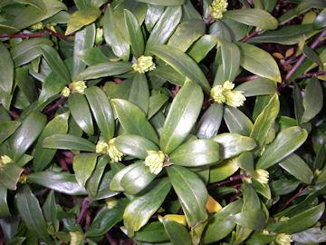 シロバナジンチョウゲ(白花沈丁花)