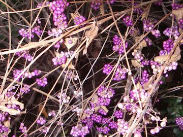 コムラサキの実(濃紫,小紫)