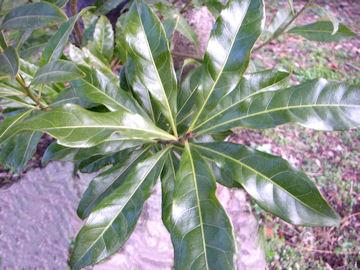 ヤマモモの葉(山桃)