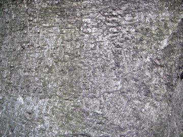 ヤマモモの樹皮(山桃)
