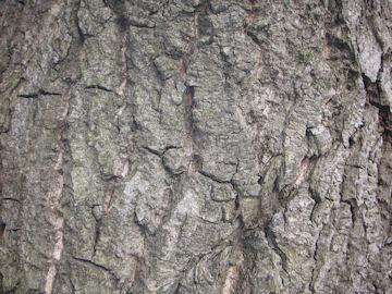 スダジイの樹皮(椎)