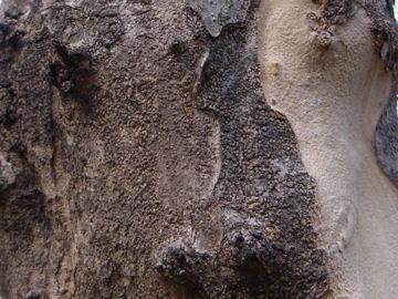 ザクロの樹皮(石榴)