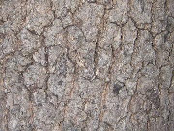 クヌギの樹皮(椚)