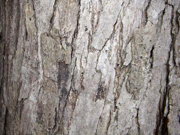 カツラの樹皮(桂)