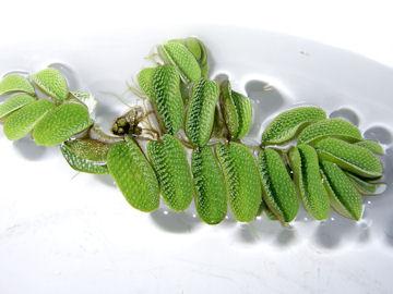 サンショウモ(山椒藻)