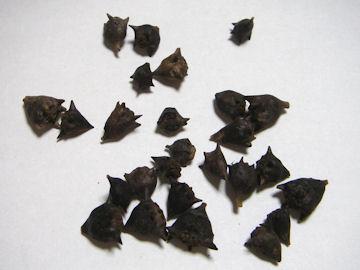 ツルナの種子(蔓菜)