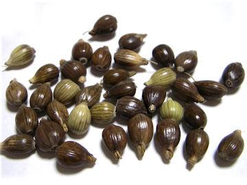 ハトムギの種子(鳩麦)