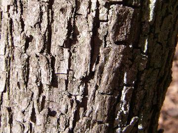 ナツメの樹皮(棗)