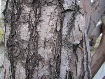 シダレヤナギの樹皮(枝垂柳)