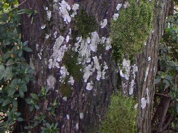 センダンの樹皮(栴檀)
