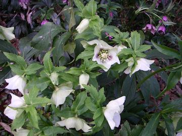 クリスマスローズの白花