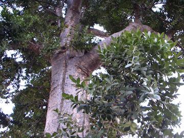コパールノキ(コパールの木)