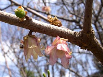 ロウバイの花のつき方(蝋梅)