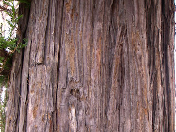 セコイアの樹皮