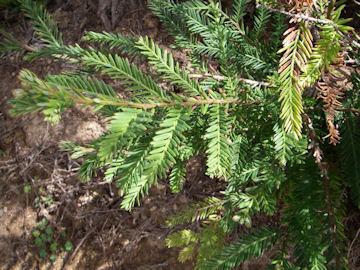 セコイアの葉