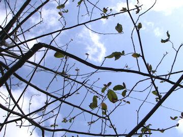 カレンボク(旱蓮木)