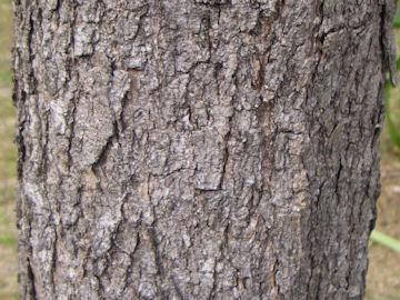 キササゲ(木大角豆)の樹皮