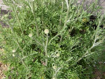 シロバナムシヨケギク(白花虫除菊)